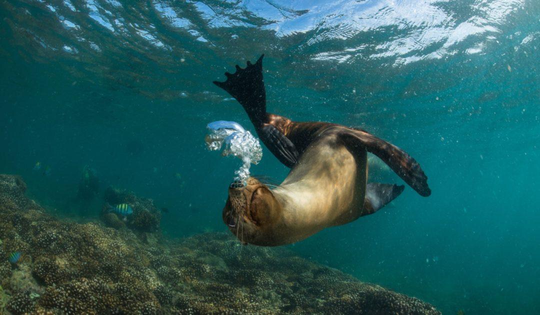 Leben unter Wasser 2018: Seelöwe (c) Christoph Giese