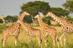 PM Giraffen 8.8.2019