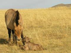 pm Przewalski-Pferd 28.5.2020