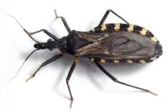 PM: Chagas-Wanzen finden auch in Europa geeignete klimatische Bedingungen