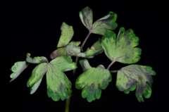 Pflanzenschädling Peronospora aquilegiicola