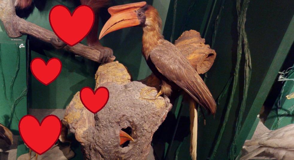 Paarungsritual des Rotbraun-Hornvogels