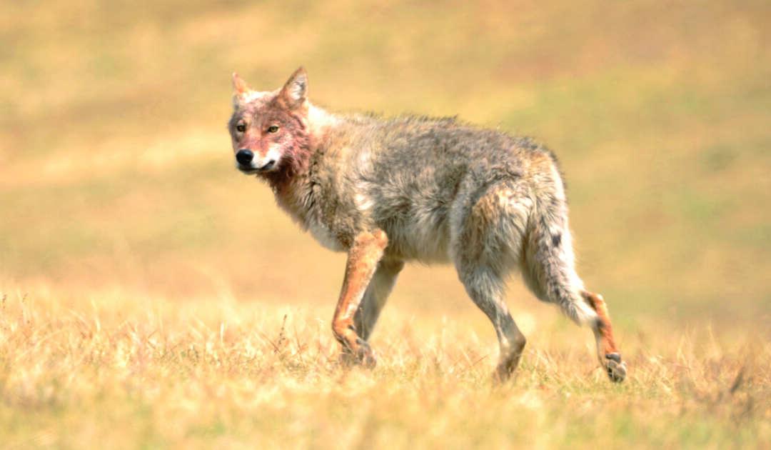 Wölfe in der Mongolei