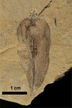 Fossile Pflanzen